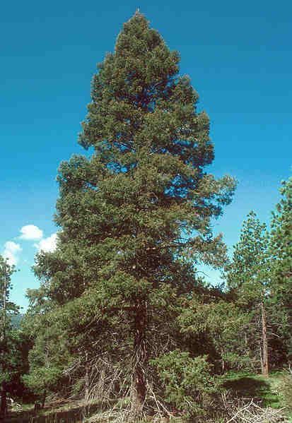 a large douglas fir